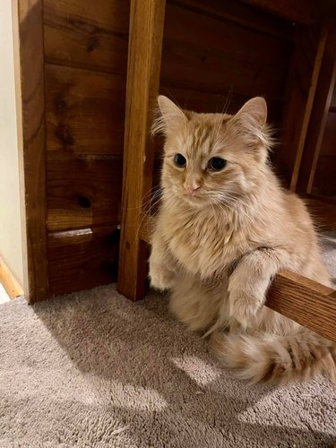 funny cat leans on furniture