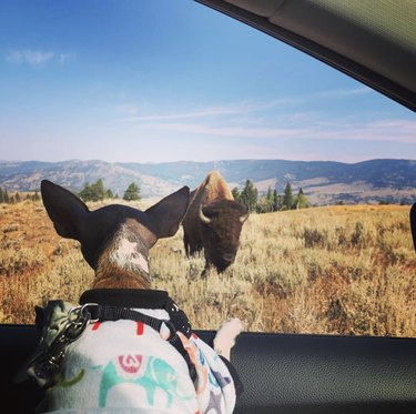 dog at yellowstone national park with bison