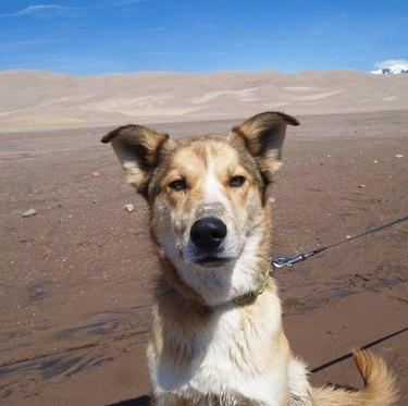 dog at great sand dunes national park