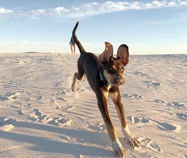 dog at white sands national park