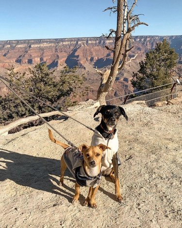 two dogs at grand canyon national park