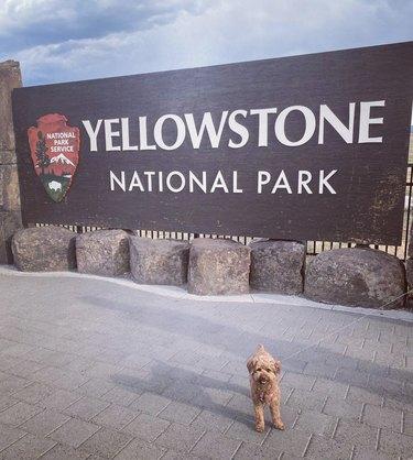 dog at yellowstone national park