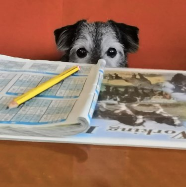 dog eyeing a crossword puzzle