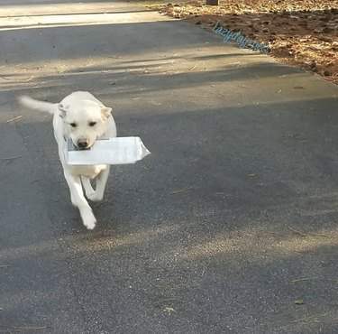 dog walking with newspaper in its mouth