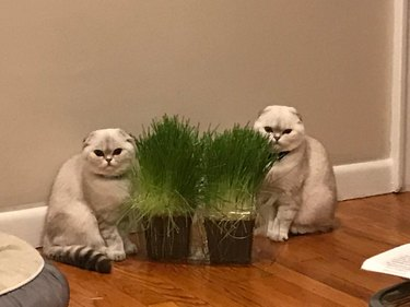 Identical cats standing side by side reminiscent of the twins from The Shining