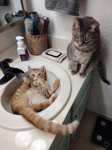silly cat in sink