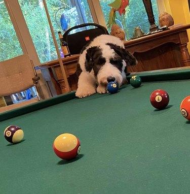 dog sniffing a billiard ball