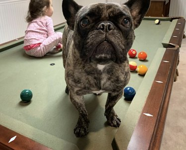 frenchie standing on pool table