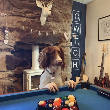 dog standing against pool table
