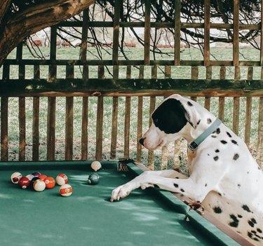 dog looking at billiard table