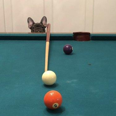 dog staring at pool table