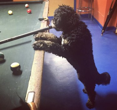 dog standing by pool table