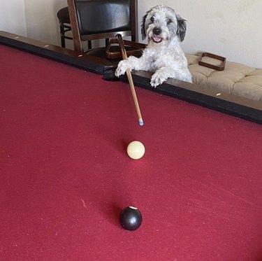 dog holding cue stick