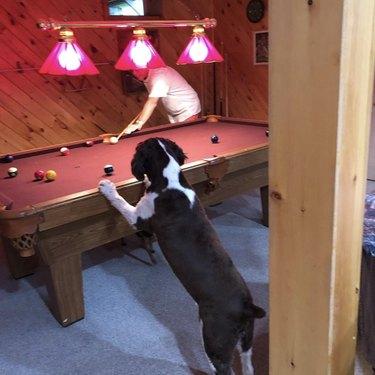 dog watching man play pool