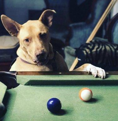 dog staring at billiard balls