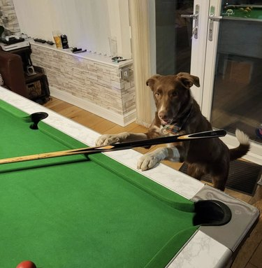 dog with cue stick