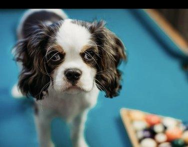 dog standing on pool table