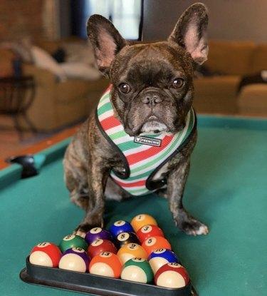 dog sitting on pool table