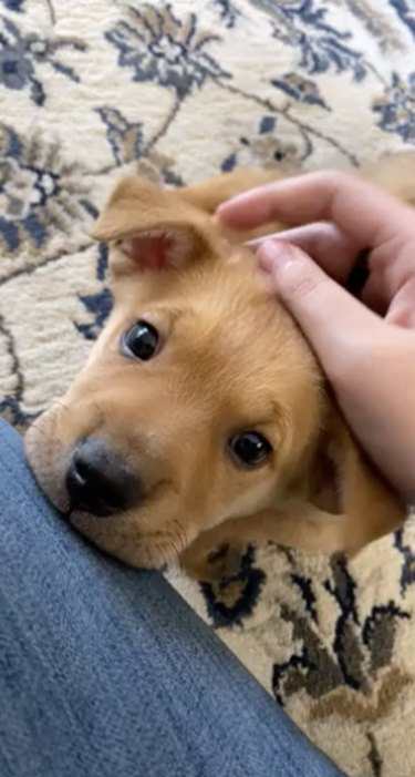 puppy stares lovingly at new human