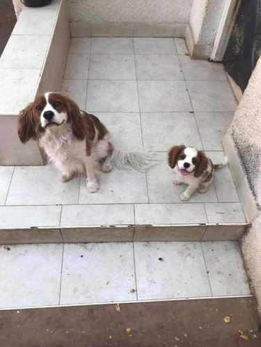 adopted dog meets lookalike dog