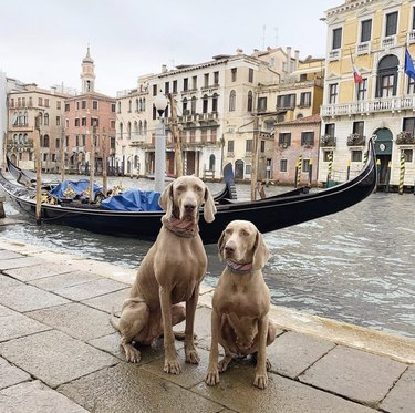 two dogs in front of gondola in Venice