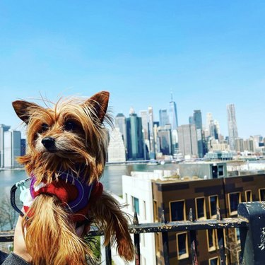 dog by the New York skyline