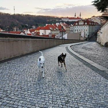 dogs on a bridge in Prague