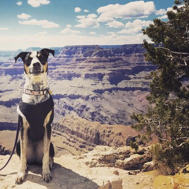 dog posing by Grand Canyon