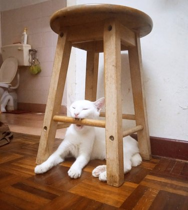 White cat biting down on rung off wooden stool
