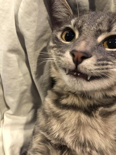 Cat showing top canines
