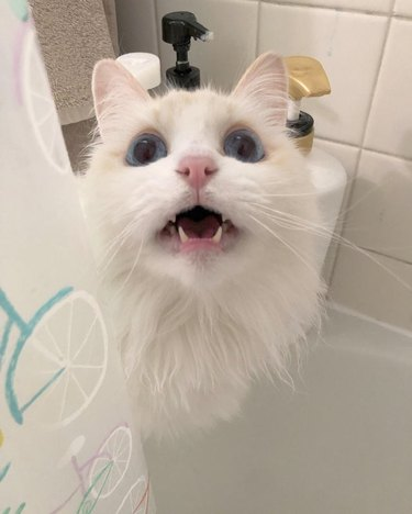 Cat meowing at person in shower