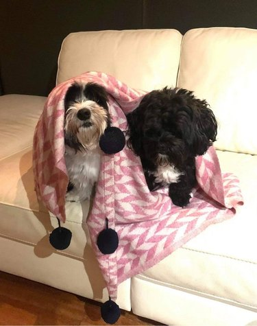 Two dogs sitting side by side on a white couch, both draped in a pink and white blanket.