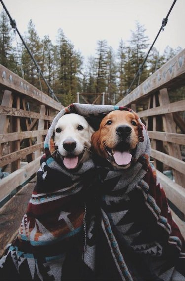 Two happy dogs sitting together beneath a blanket, on a bridge in a forested area.