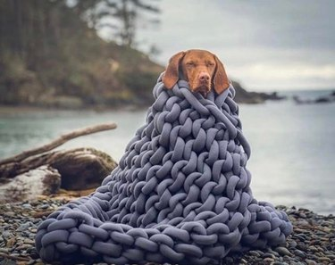A brown dog wrapped in a chunky knit grey blanket beside a lake.