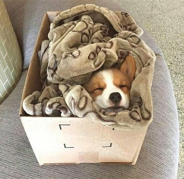 A corgi puppy asleep in a box and bundled up in a brown blanket.