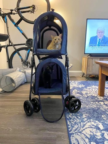 cats in baby stroller