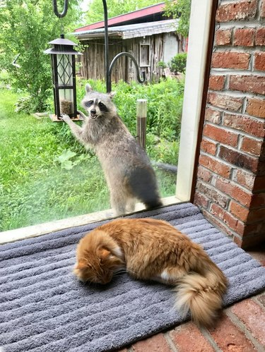 Cat sleeping in front of window while raccoon eats from bird feeder directly behind it