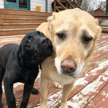 An old yellow lab looks weary as a black lab puppy howls in their face.