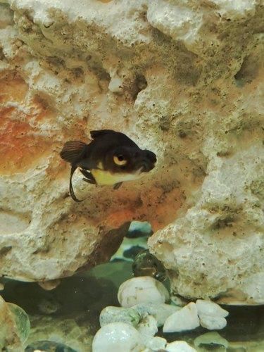 A small black fish stares angrily at the camera.