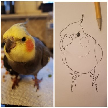 A cockatiel looking angrily at the camera next to a line drawing of the same cockatiel.