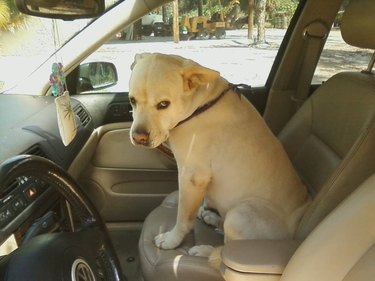 An unimpressed-looking dog sits in the passenger's seat of a car.