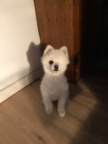 one-eyed dog looks like fluffy cloud with legs