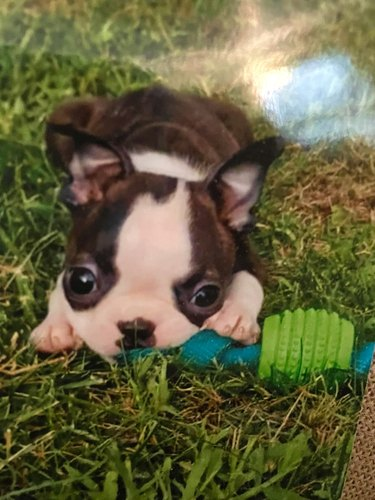 tiny puppy with chew toy