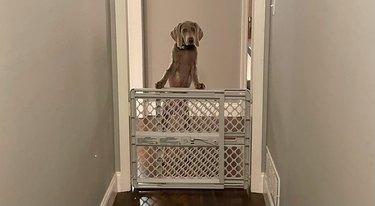 dog guarding baby gate