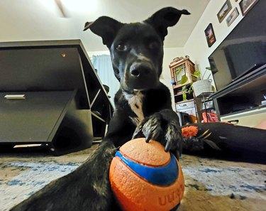 dog holding tennis ball
