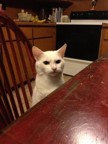 A white cat sitting at a dining table and looking annoyed.