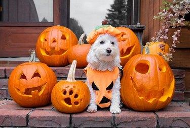 dog in pumpkin costume poses with halloween pumpkins