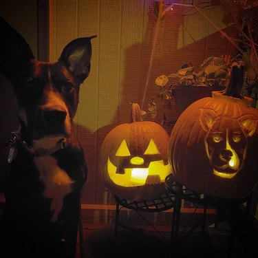 dog poses with glowing pumpkins