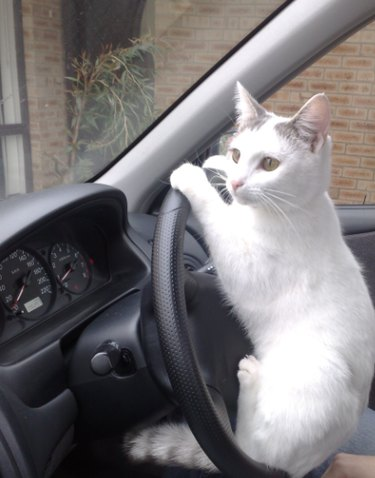 A white cat sitting on a steering wheel, with their paws on the wheel as if they're driving.