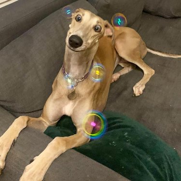 Dog on couch looking cross-eyed at bubbles